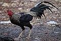 Thai Game chicken - rooster.jpg