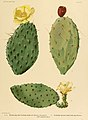 The Cactaceae (Plate XX) (6025951859).jpg