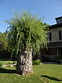 The Neighbour's Willow Tree (27711543320).jpg