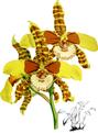 The Orchid Album-02-0096-0079-Dontoglossum grande-crop.png