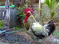 The Rooster.jpg