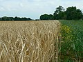 The edge of a wheat crop south of Clanfield - geograph.org.uk - 894615.jpg