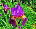 The iris is always a splendid flower... - L'iris a toujours le don de nous émerveiller, n'est-ce-pas - panoramio.jpg