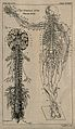 The nervous system; two figures showing the brain, spine and Wellcome V0008430EL.jpg