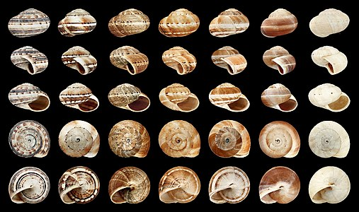 These shells give an impression on the range of variability within one population.