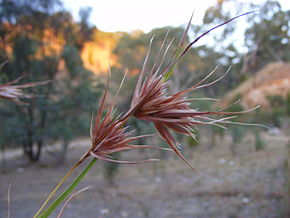 Description de l'image Themeda triandra - kangaroo grass.jpg.