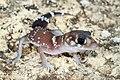 Thick-tailed Gecko (Underwoodisaurus milii) (9390973818).jpg
