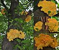 This Oak ttree is attacked by 3 groups of Laetiporus sulphureus (Chicken of the Woods or Sulphur shelf, D= Schwefelporling, F= Polypore soufré, NL= Zwavelzwam) white spores and causes brown rot, at the Schaarsbergen fo - panoramio.jpg