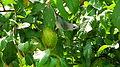 Thraupis sayaca feeding on guavas (2836789518).jpg