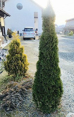 Thuja occidentalis Smaragd Emerald green