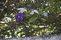 Thunbergia affinis et fragans-2196.jpg