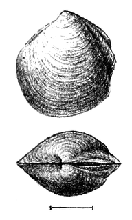 Thyasiridae family of molluscs
