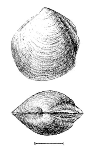 Thyasiridae - Thyasira gouldi