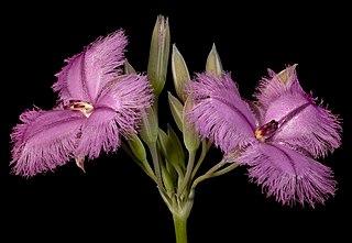 <i>Thysanotus multiflorus</i> species of plant