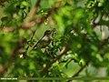 Tickell's Leaf Warbler (Phylloscopus affinis) (18327473054).jpg