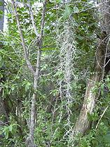 Tillandsia usneoides02.jpg