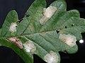 Tischeria ekebladella (mine) - Одноцветная моль дубовая (мина) (27383154408).jpg