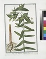 Tithymalus latifolius, Cataputiia dictus (NYPL b14444147-1124949).tiff