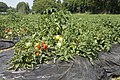Tomato field in Namegata, Ibaraki 03.jpg