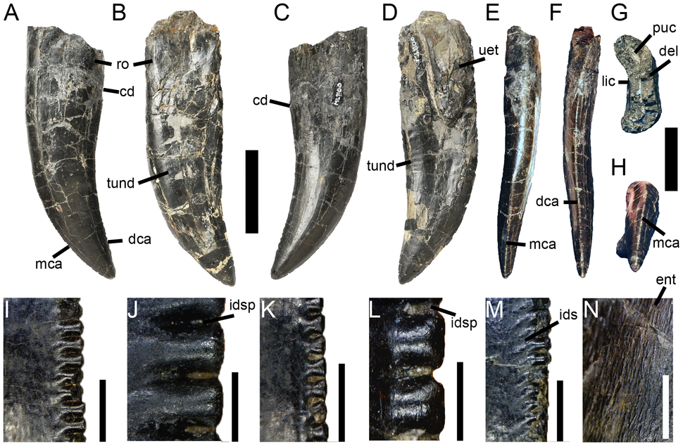 Torvosaurus gurneyi teeth