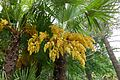 Trachycarpus fortunei-Parc du Grand Blottereau (7).jpg