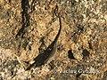 Trachylepis variegata.jpg