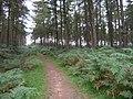 Track through the High Moor pine plantation - geograph.org.uk - 549377.jpg