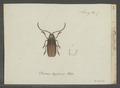 Tragosoma - Print - Iconographia Zoologica - Special Collections University of Amsterdam - UBAINV0274 032 05 0017.tif