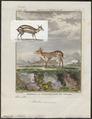Tragulus meminna - 1700-1880 - Print - Iconographia Zoologica - Special Collections University of Amsterdam - UBA01 IZ21500176.tif