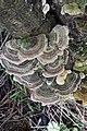 Trametes versicolor (7633877708).jpg
