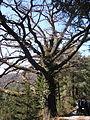 Traubeneiche (Quercus petraea), Steiermark 03.JPG