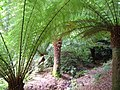 Tree ferns, Coleton Fishacre - geograph.org.uk - 233287.jpg