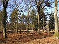 Trees in Milkham Inclosure, New Forest - geograph.org.uk - 330581.jpg