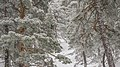 Trees in the sierra of Guadarrama, Madrid, Spain - 49813383483.jpg