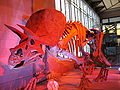 Triceratops 28-12-2007 14-50-26.jpg