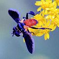 Trichopoda pennipes (Fabricius) 1.jpg