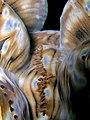 Tridacna squamosa (Giant clam) mantle.jpg