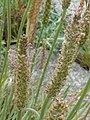 Triglochin maritimum inflorescence (12).jpg