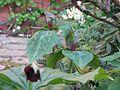 Trillium ludovicianum - Flickr - peganum.jpg