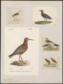 Tringa subarquata - 1700-1880 - Print - Iconographia Zoologica - Special Collections University of Amsterdam - UBA01 IZ17400267.tif