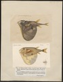 Triodon bursarius - 1700-1880 - Print - Iconographia Zoologica - Special Collections University of Amsterdam - UBA01 IZ15500003.tif