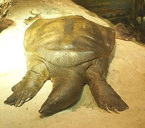 Afrikanische Weichschildkröte (Trionyx triunguis)