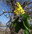 Tristellateia africana on Pemba Bay (9581508143).jpg