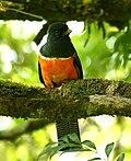 Trogon aurantiiventris -Costa Rica-8.jpg