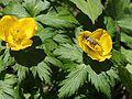 Trollius japonicus (flower s3).JPG