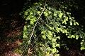 Tsuga caroliniana foliage Rogów.JPG