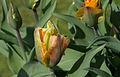 Tulipe 'Golden Artist'.jpg