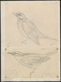 Turdus sibiricus - 1700-1880 - Print - Iconographia Zoologica - Special Collections University of Amsterdam - UBA01 IZ16300245.tif