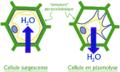 Turgescence-et-plasmolyse-cellule-vegetale.png