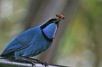 Turquoise jay Ecuador 1241a